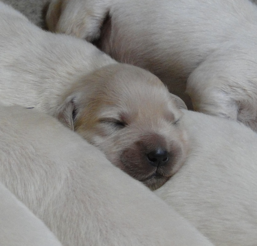 English Cream Golden Retriever Breeder NC | Creekside