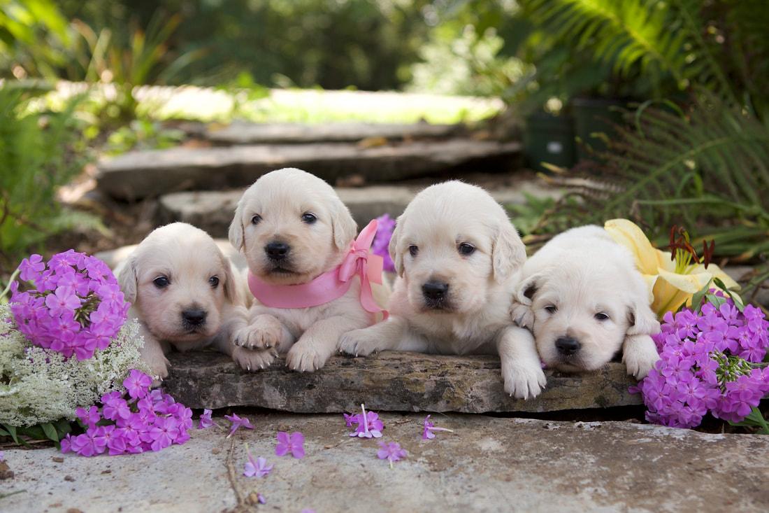 English Cream Golden Retriever Puppies NC | Virginia
